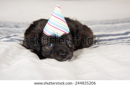 Small Fluffy Puppy in Party Hat on Gray Striped Blanket  - stock photo