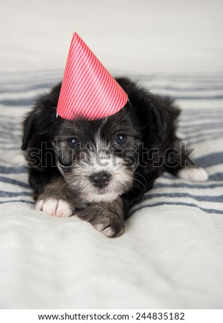 Small Fluffy Puppy in Red Party Hat on Gray Striped Blanket  - stock photo
