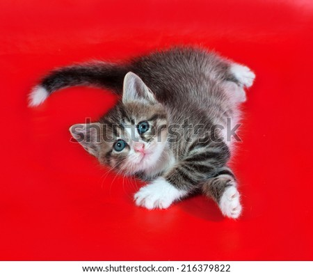 Small fluffy tabby kitten lies on red background