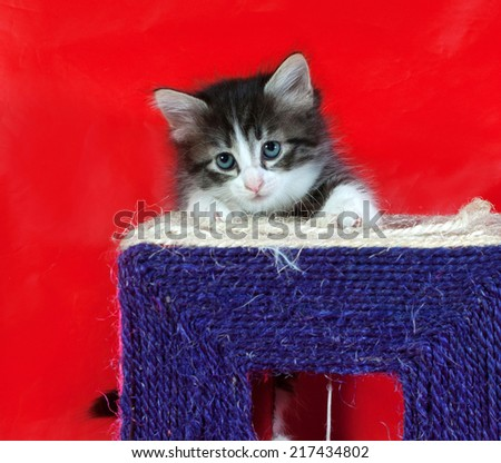 Small fluffy tabby kitten sitting on red background