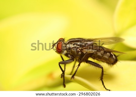 Small fly insect from Thailand summer season ,big eye