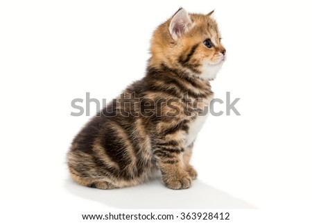 Small, funny kitten  breed British marble, isolated on white - stock photo