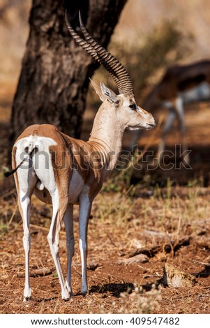 Small gazelle profile taken, in their natural habitat, Africa - stock photo
