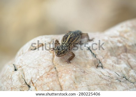 Small Gecko lizard on rocks closeup photo - stock photo