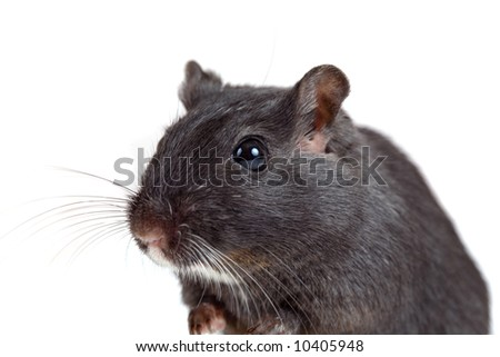 Small gerbil looking curious on white background