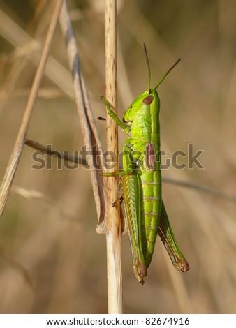 Small gold grasshopper on a grass stalk - stock photo