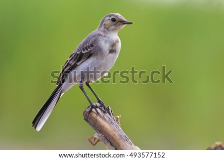 small gray bird with a green background