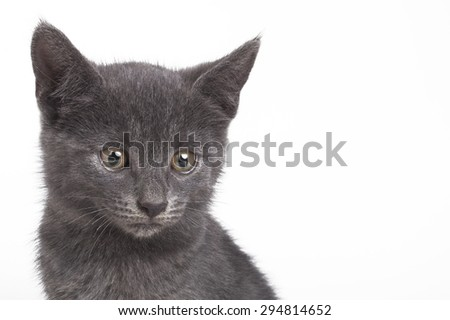 Small gray British cat isolated on white background