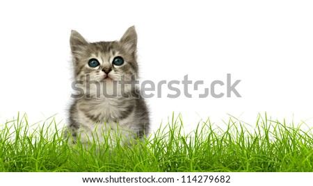Small gray kitten in green grass isolated on white background - stock photo
