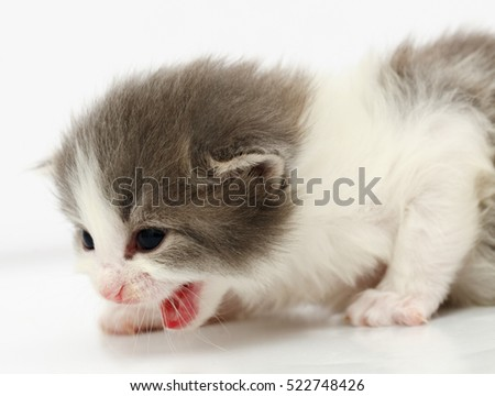 Small gray kitten isolated on white background