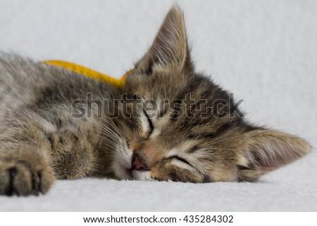small gray kitten sleeps - stock photo