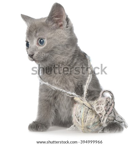 Small gray shorthair kitten lay and plays with ball of yarn on white background.