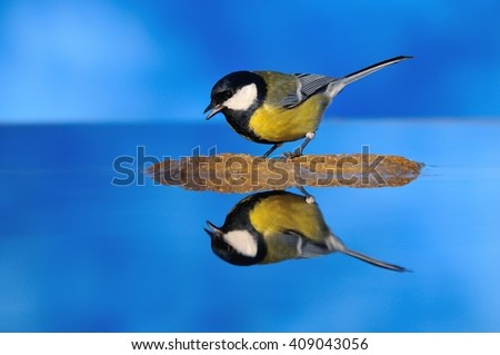 Small great tit with yellow and white spots sitting on rock. Water reflection. - stock photo