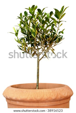 Small green olive tree in terracotta pot, isolated on white - stock photo