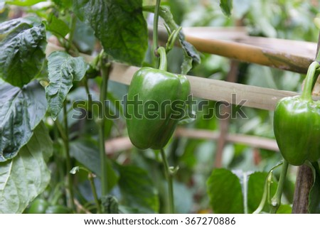 small green peppers growing in the garden.blurry abstract - stock photo