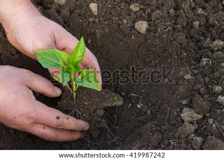small green seedling pepper in hand closeup on a background of the ground. candid photo - stock photo