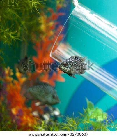 Small grey fish underwater near glass pipe - stock photo