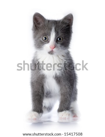 Small grey kitten on a white isolated background - stock photo
