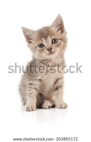 Small grey kitten sits and looks ahead on isolated white background.