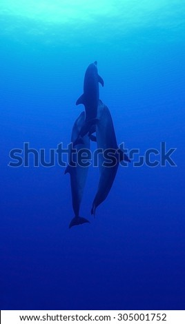 SMALL GROUP OF BOTTLE NOSE DOLPHIN SWIMMING ON BLUE WATER