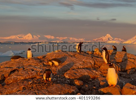 Small group of gentoo penguins in last sun beams, red tone, with red mountain ridge in background, Antarctic Peninsula - stock photo