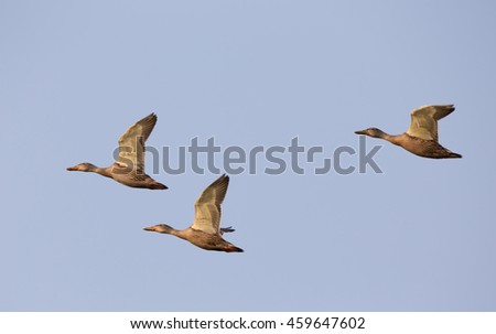 Small group of wild ducks flying against blue sky - stock photo