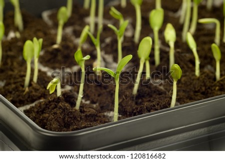 Small Growing Cantaloupe Sprouts in Plastic Plant Containers - stock photo