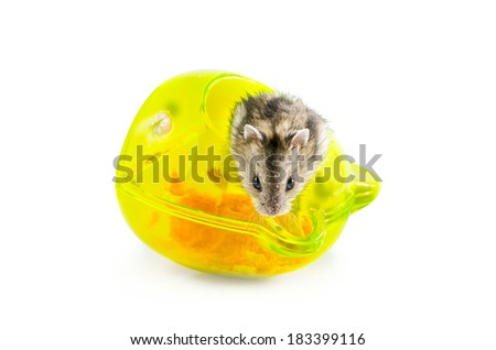 Small hamster at home on white background : Clipping path included - stock photo