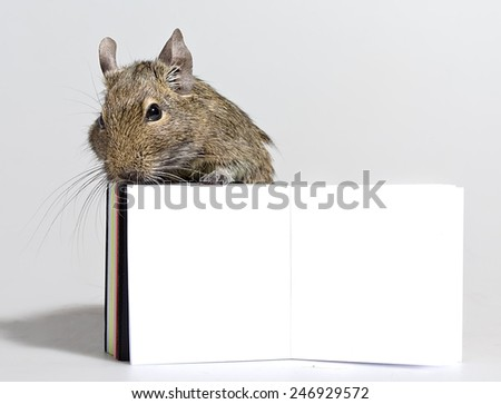 small hamster standing with blank poster in paws closeup on white background - stock photo