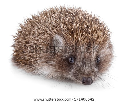 Small hedgehog in front isolated on white background - stock photo