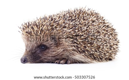 Small hedgehog isolated on a white background