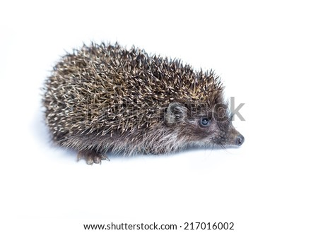 small hedgehog on white background - stock photo