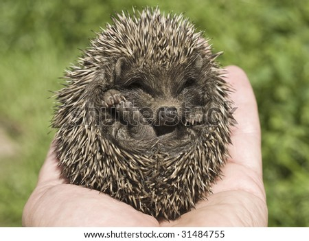 Small hedgehog who is in a hand of the person - stock photo