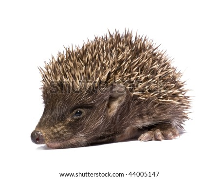 Small hedgehog who is represented on a white background