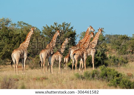 Small herd of giraffes (Giraffa camelopardalis) in natural habitat, South Africa