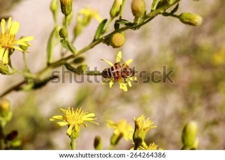 Small honeybee on buds of bright yellow flowers - stock photo