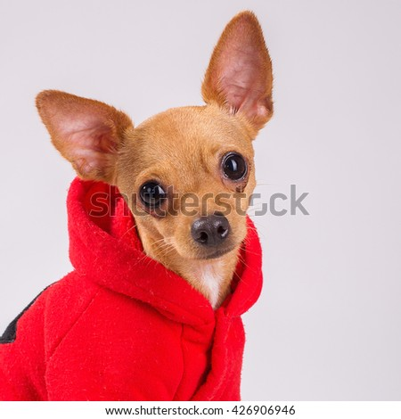 chihuahua dog houses min pin stock photos images pictures shutterstock 9079