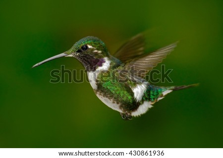 Small hummingbird. White-bellied Woodstar, hummingbird with clear green background. Bird from forest. Hummingbird from Colombia. Hummingbird in nature habitat. Flying hummingbird in tropic forest.  - stock photo