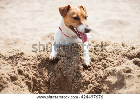 Small Jack Russell puppy playing on the beach digging sand. Cute small domestic dog, good friend for a family and kids. Friendly and playful canine breed - stock photo