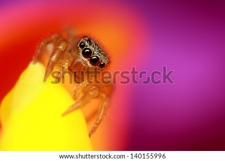 Small jumping spider with colorful background