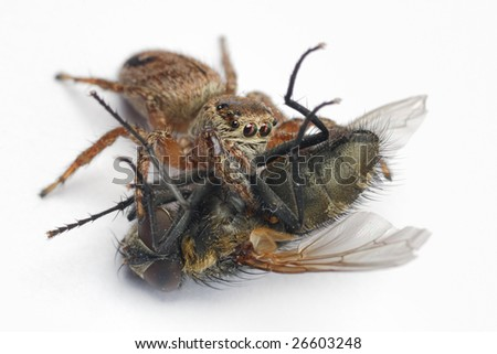 small jumping spider with prey - stock photo