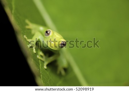 small juvenile frog sitting on a leaf amphibians are nocturnal endangered animals need nature conservation background copy space tropical amazon Bolivia rain forest