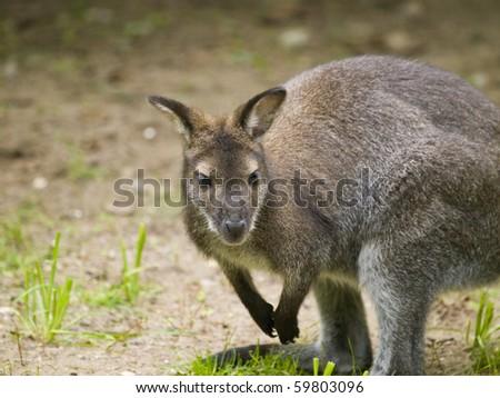 Small kangaroo looking intrigued to the camera - stock photo