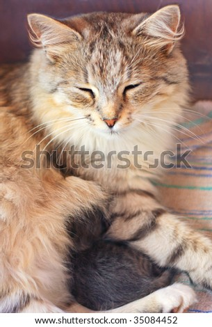 Small kitten and mother cat - stock photo