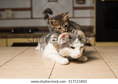 Small kitten plays with big cat - stock photo