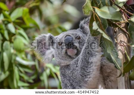 Small Koala in Brisbane, Queensland, Australia - stock photo