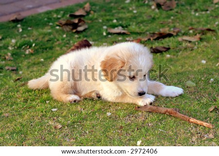 small labrador playing on the green grass