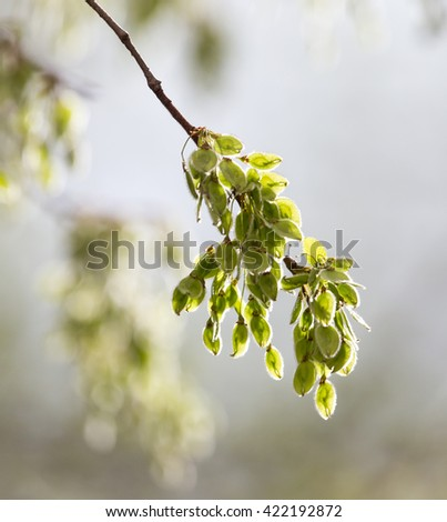 small leaves on a tree in spring