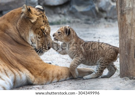 Small liger cub playing with his mother