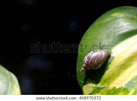 small little natural grey brown snail climbing on green leave on the pond floor with dark green moss and water plants under natural sunlight on a sunny day - stock photo